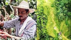 콜롬비아 내전 마지막 날까지 커피나무 심은 농부