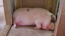 안동시가 '거대 돼지' 구출작전에 나서게 된