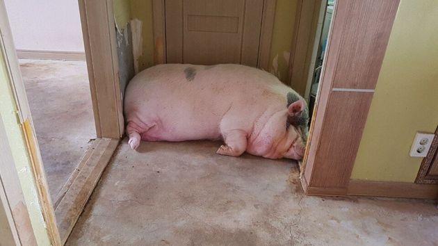 안동시가 '거대 돼지' 구출 작전에 나서게 된