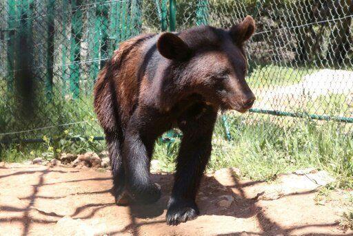 Un des ours de la réserve évacué du zoo d'Alep en