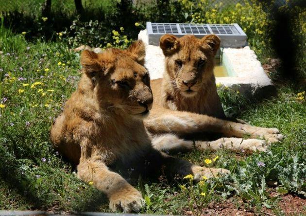 Les deux lions évacués de Gaza en 2014 lors d'un conflit avec
