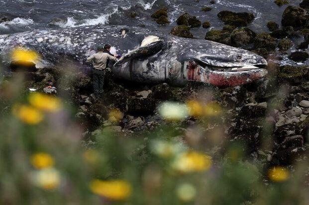 ΗΠΑ: Δεκάδες υποσιτισμένες νεκρές φάλαινες ξεβράζονται στην Δυτική
