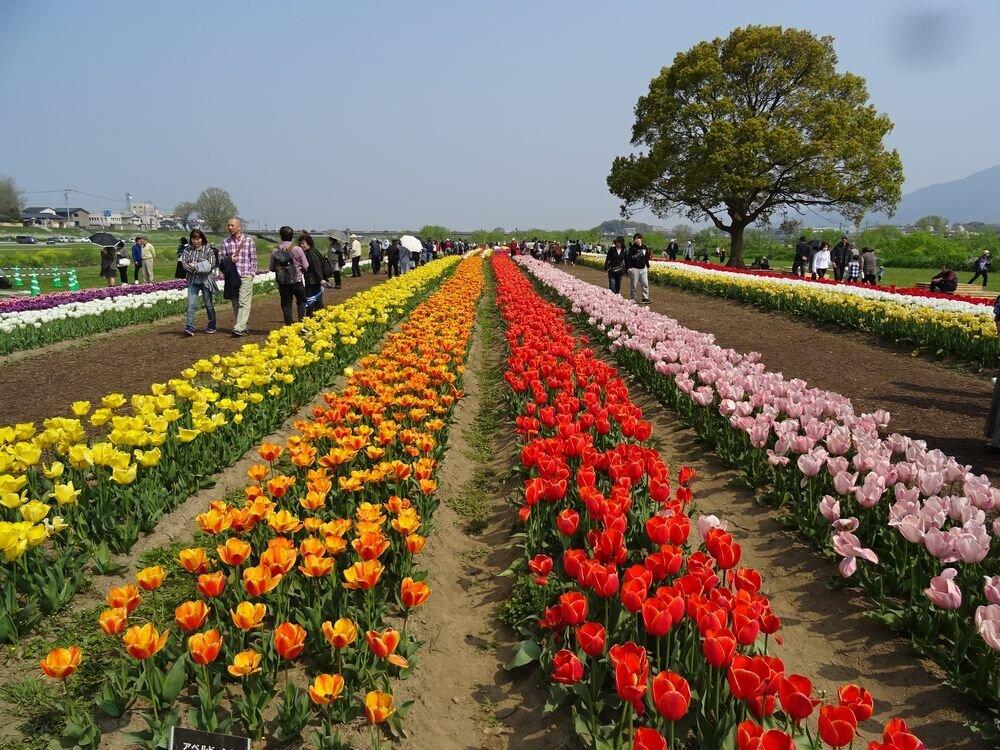 チューリップは『町の誇り』。福岡・直方市の市民たちが20年以上守り続けるチューリップフェア。