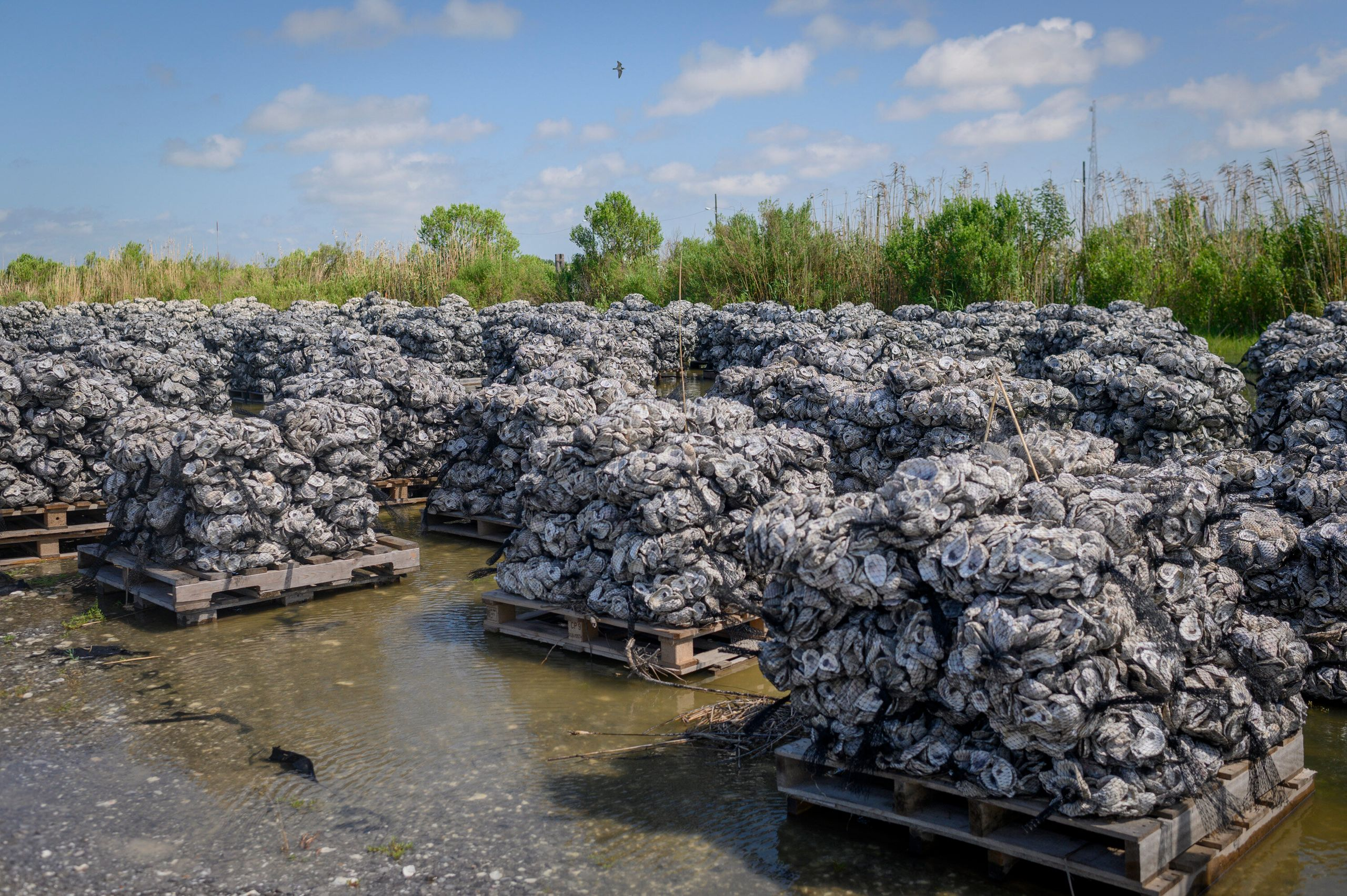 Wood pallets loaded with oyster shells ready to go into the water at the Coalition to Restore Coastal Louisiana oyster shell