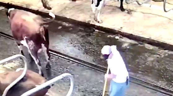 Cow Squirts Projectile Poop On Farmer: 'I Did not Even Stand A Likelihood'
