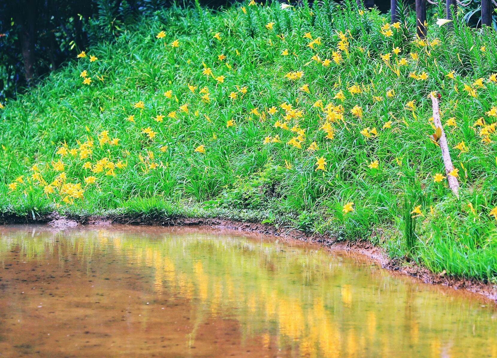 ▲白石湖同心池畔的金針花,目前花開繁盛、相當燦爛。
