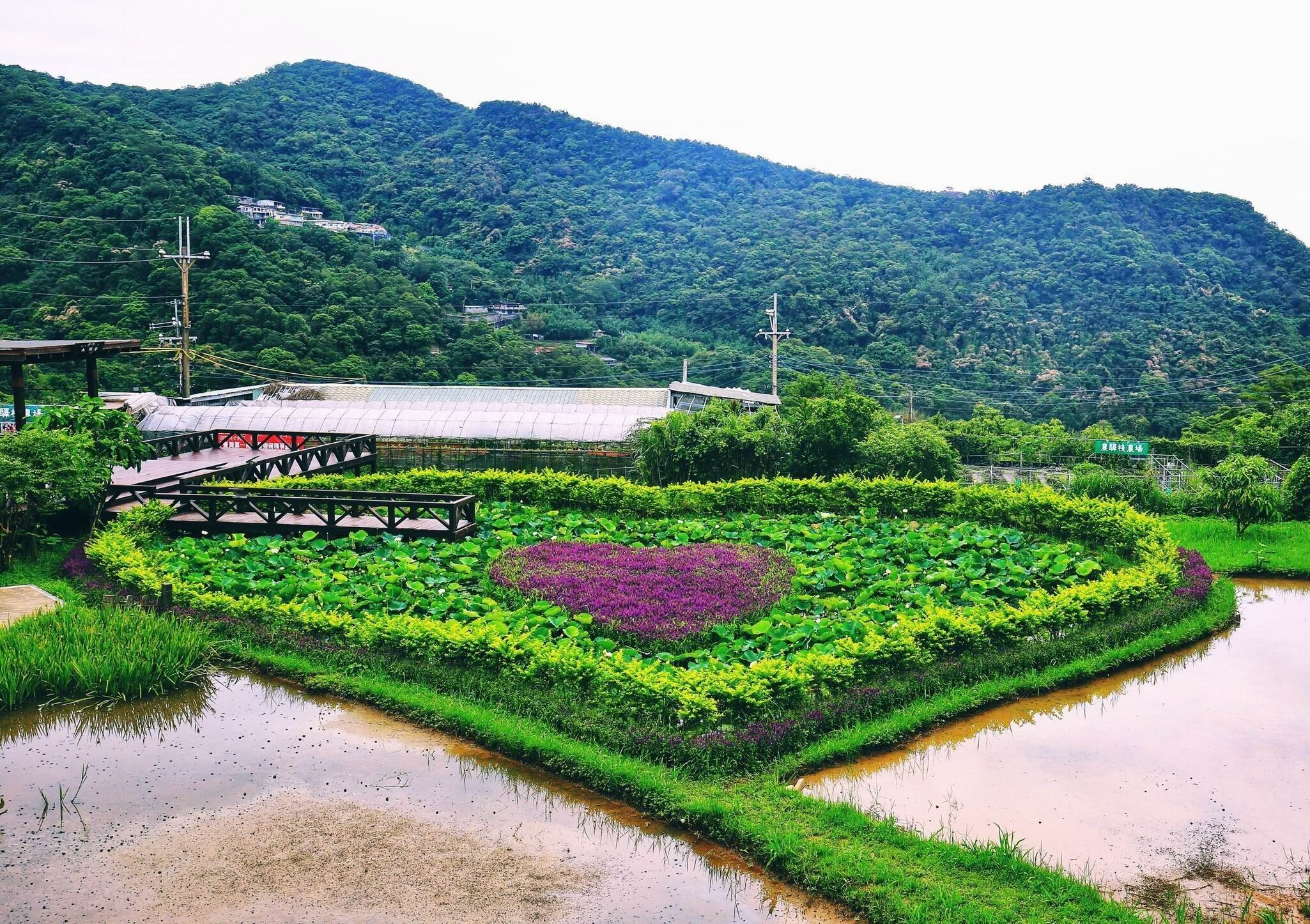 ▲造型特別的同心池內,蓮花與鼠尾草呈現分別呈現大小雙心。