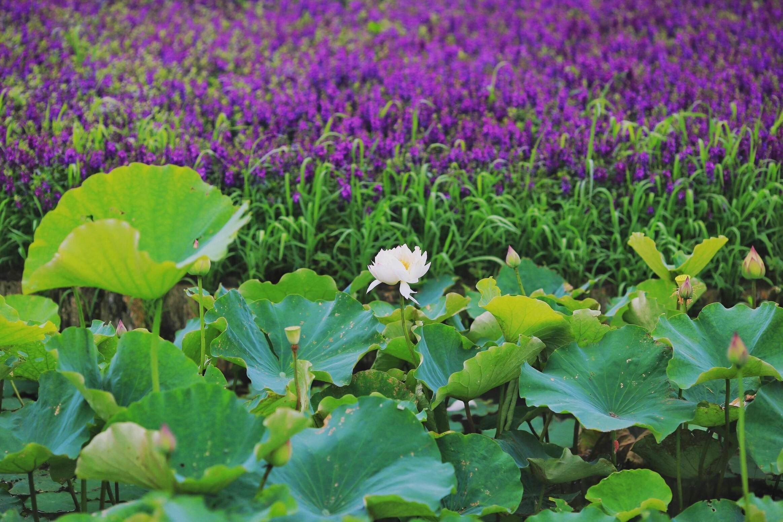 ▲淡雅的白蓮與浪漫的鼠尾草,交會出詩意風景。