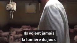 Un député France insoumise s'introduit dans un élevage de porcs: tollé du monde