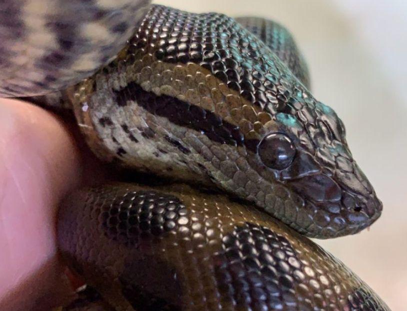 anaconda virgin