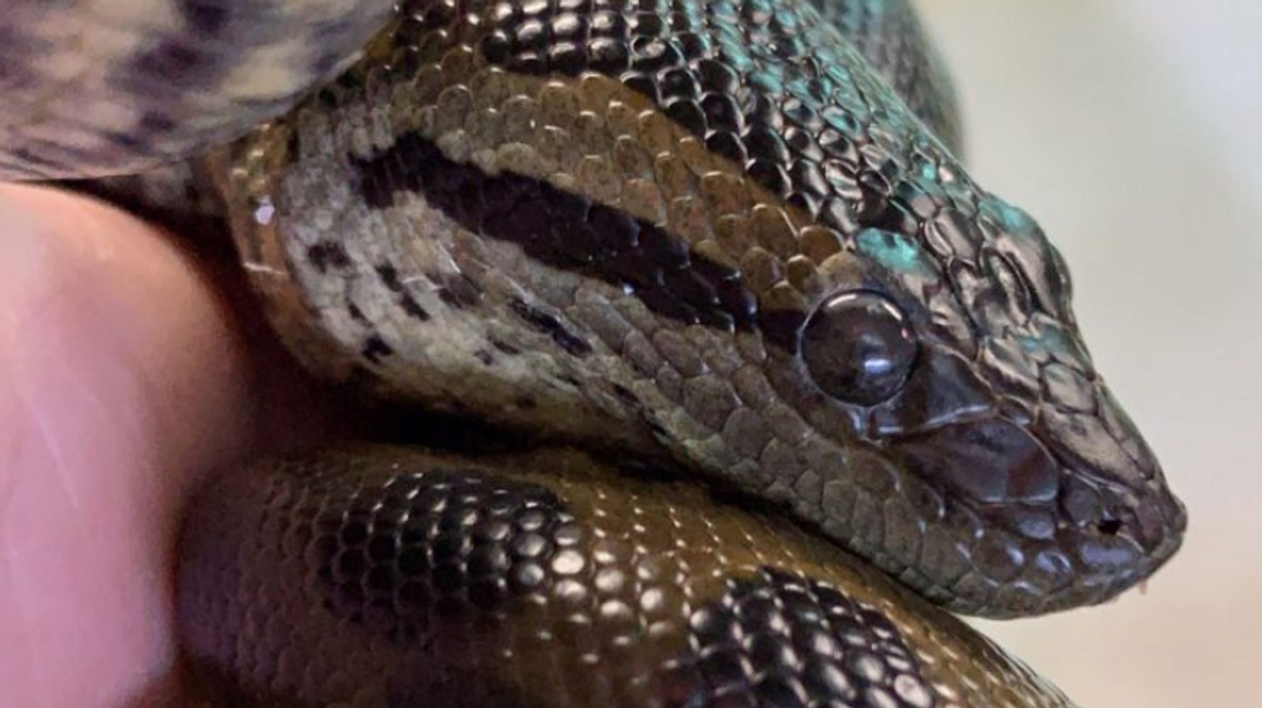 Anna The Anaconda Gives 'Virgin Birth' At New England Aquarium