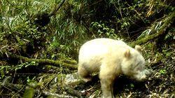 Un panda albinos photographié en