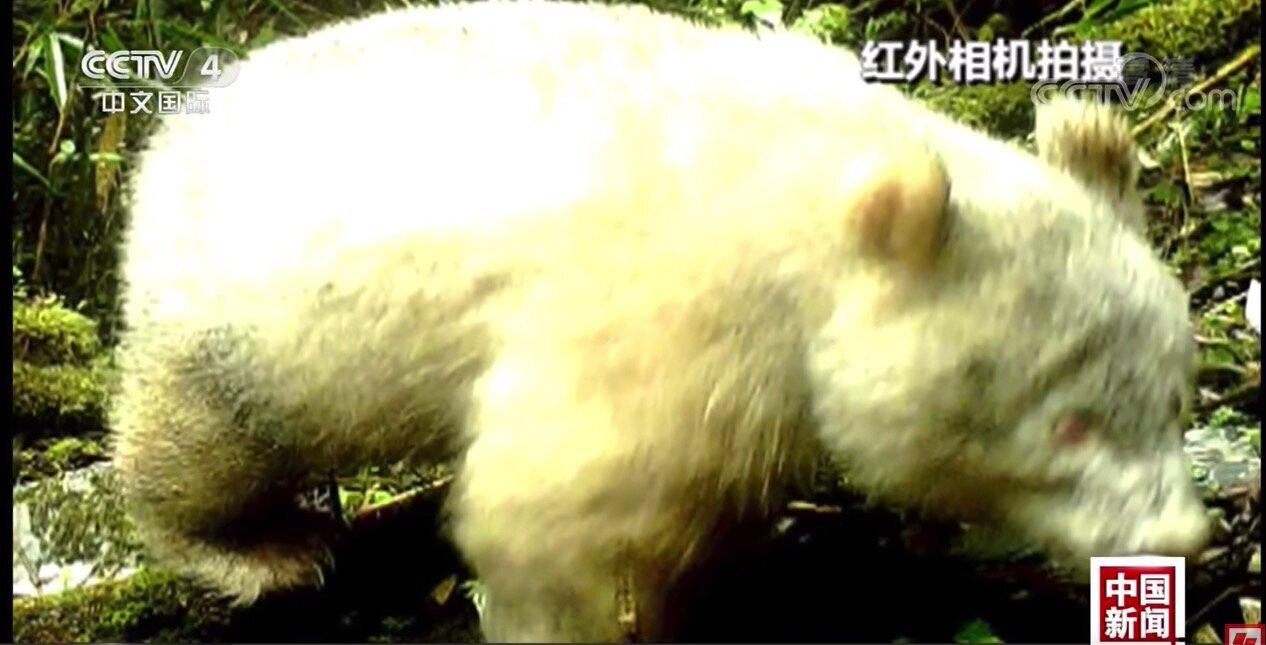 全身真っ白なパンダ、中国で見つかる。世界で初のアルビノ個体か