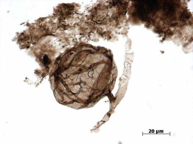 캐나다에서 발견된 10억년전 곰팡이 화석의 과학적