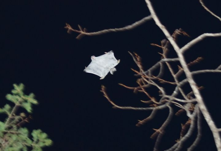 하늘을 나는 하늘다람쥐. 자료사진