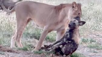 Lion vs Painted Dog