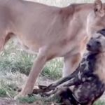 Wild Dog Uses Award-Worthy 'Play Dead' Act To Escape From A Lioness'