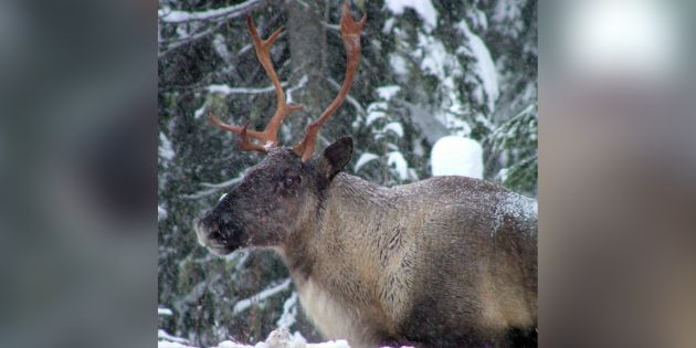 Alberta Caribou Habitat To Be Sold To Energy