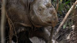 With Death Of Malaysia's Last Male Sumatran Rhino, Another Species Is Almost