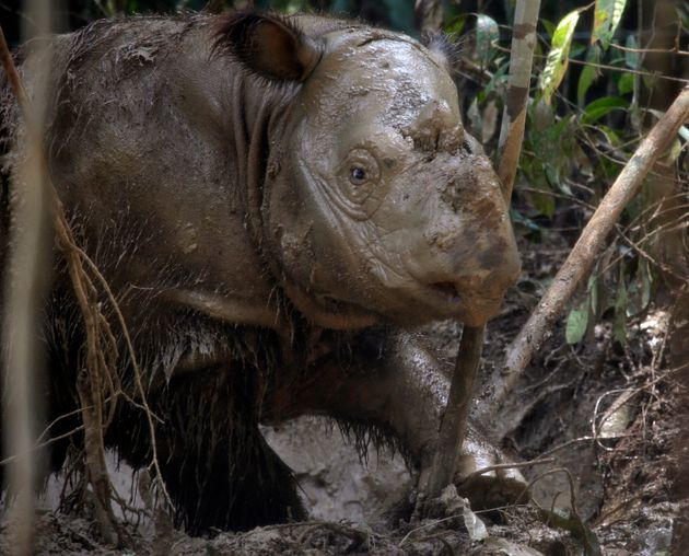 Fewer than 80 Sumatran rhinos are left on the planet, conservationists have