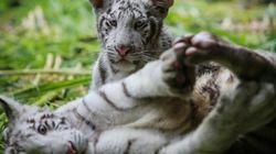 Deux petits tigres blancs accueillis dans un zoo au