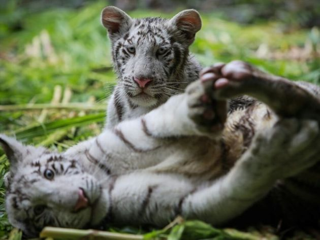 Âgés de cinq mois, Osman et Halime sont les seuls tigres de leur espèce encore présents...