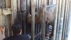Ο θάνατος του τελευταίου αρσενικού ρινόκερου Σουμάτρας στη Μαλαισία. Τον έλεγαν Ταμ και ήταν 30