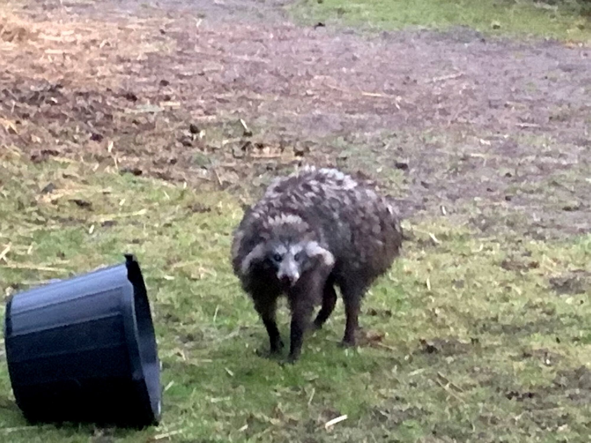 A picture showing one of the raccoon dogs. Residents have been warned not to approach them. (SWNS)