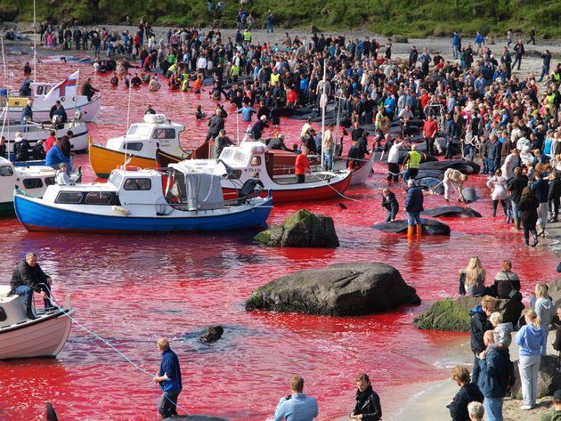 Το πιο βάναυσο έθιμο - «Κόκκινος» ο βόρειος Ατλαντικός μετά τη σφαγή δεκάδων φαλαινών και