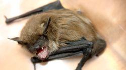 ΗΠΑ: Επαθε λύσσα από νυχτερίδα που κρυβόταν στη θήκη του