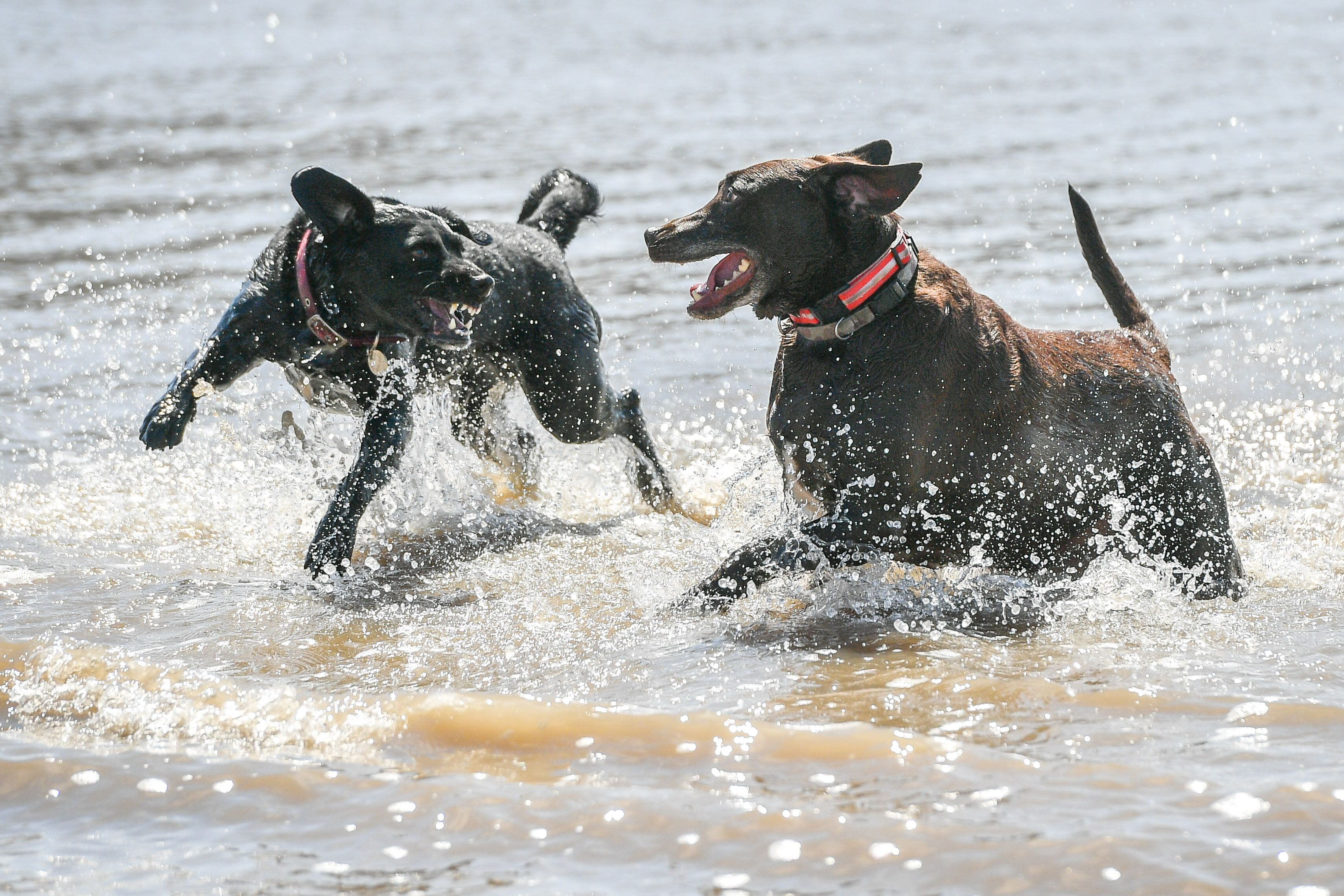 Dogs cool off as they play in the sea at Weston-super-Mare as the UK enjoys a spell of hot weather. (Photo by Ben Birchall/PA Images via Getty Images)