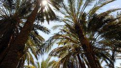 Le réveil des oasis tunisiennes: Un levier pour l'employabilité et la biodiversité selon la Banque