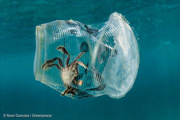 필리핀 베르데 섬에서 게가 버려진 일회용 플라스틱 컵에 갇혀