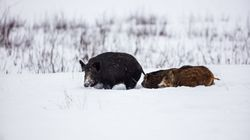Canada Bred Pigs With Boars. Now They're Wreaking Havoc On The