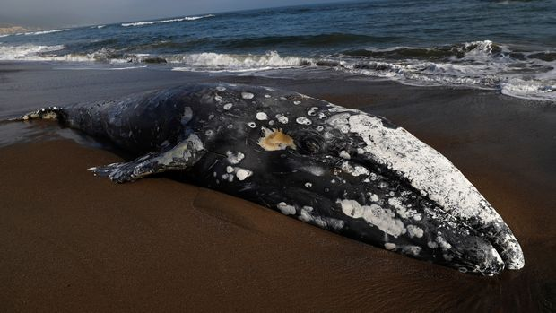 A dead gray whale rests on Limantour Beach at Point Reyes National Seashore in Point Reyes Station, north of San Francisco, California, U.S., May 23, 2019. REUTERS/Stephen Lam