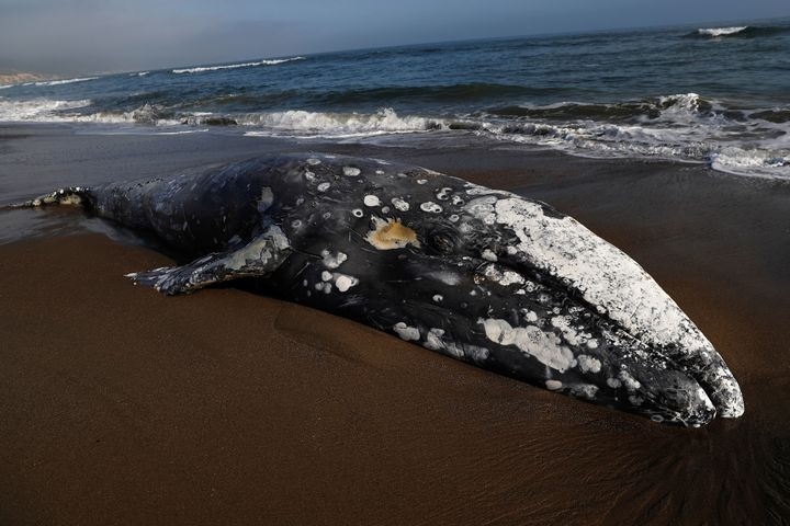 A dead gray whale rests on Limantour Beach at Point Reyes National Seashore in Point Reyes Station, north of San Francisco, C