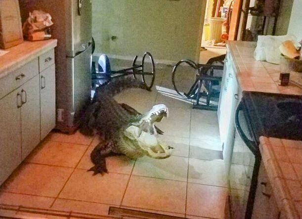 Φλόριντα: Αλιγάτορας μπήκε τα ξημερώματα στην κουζίνα ηλικιωμένης και πήρε το κόκκινο