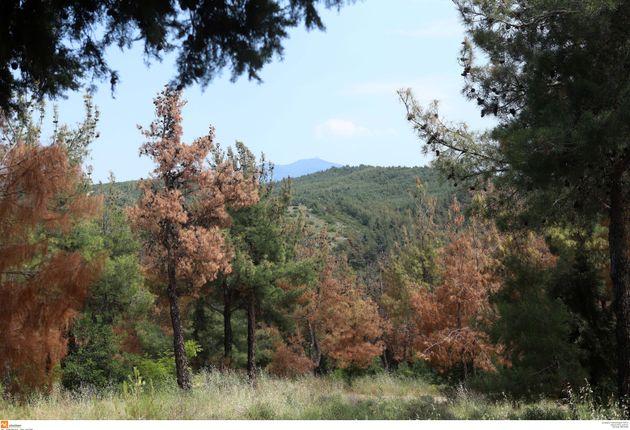 Θεσσαλονίκη: Συναγερμός στις αρχές για έντομο που καταστρέφει δέντρα στο Σέιχ