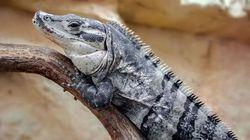 Des milliers de reptiles destinés à finir en sac à main sauvés grâce à l'opération