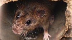I topi rosicchiano la fibra ottica e lasciano la provincia di Belluno senza