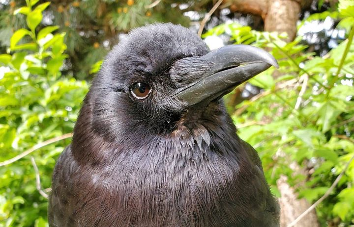 Canuck the Crow, Vancouver's most famous corvid, pictured shortly after his new babies hatched.
