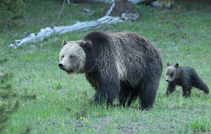 A grizzly bear and her cub walk through a meadow in Yellowstone National Park.