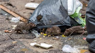 Three dirty mice eat debris next to each other. Rubbish bag On the wet floor and very foul smell. Selective focus.