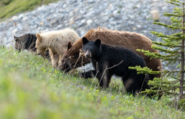 The black bear family included a cinnamon-coloured mother, two black cubs and one white