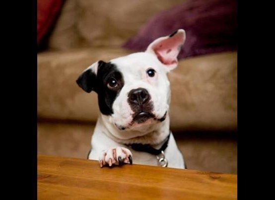 Jonny Justice - a Staffordshire Bull Terrier from San Francisco.