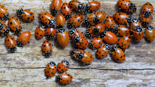 a large group of ladybugs on a piece of wood.