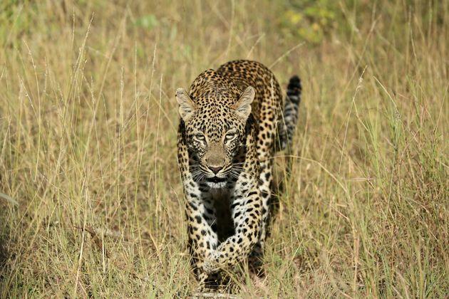 Ν.Αφρική: Λεοπάρδαλη κατασπάραξε αγοράκι 2 ετών μέσα σε πάρκο άγριων