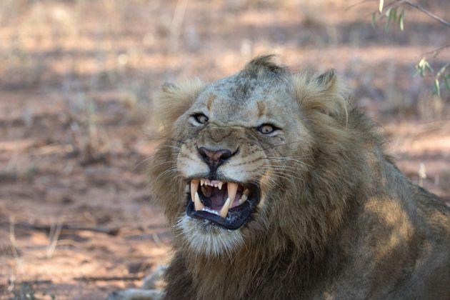 N.Αφρική: 14 λιοντάρια το «έσκασαν» από εθνικό πάρκο και περιφέρονται σε