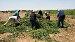 Plusieurs champs de menthe non conformes aux normes sanitaires ont été détruits par