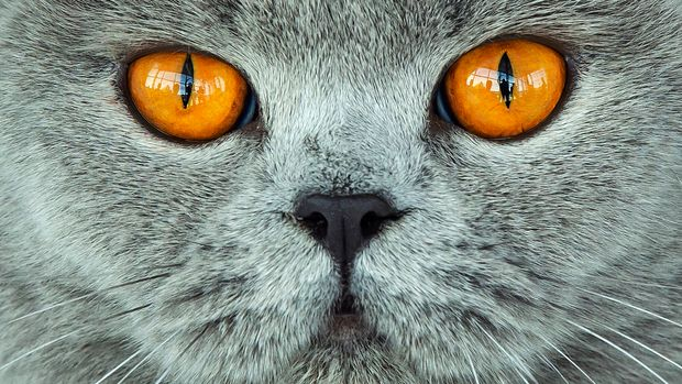A British Shorthair cat waits during the jury session at the International pedigree dog and purebred cat exhibition in Erfurt, Germany, Sunday, June 2, 2019. More than 3,600 dogs and around 160 cats with their owners and 49 breed judges from 15 different countries take part at the exhibition and the competitions during this weekend. (AP Photo/Jens Meyer)